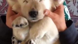 Super relaxed puppy enjoys thorough massage
