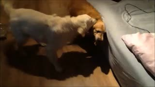 Father and son Golden Retrievers play together