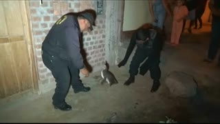Peruvian penguin taken into custody - Video