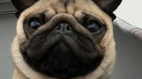 Pug not impressed by front camera face rolls
