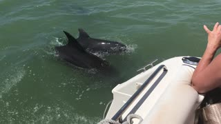 Dolphins Playfully Follow Boat - Video