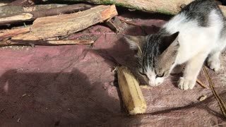 Kitten eating the cane  - Video