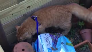 Orange cat on purple leash walks around garden  - Video
