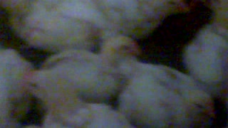 A must see gaint chickens 29 days old