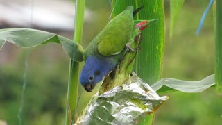 Ave Nature Parrot Green Colombia - Video