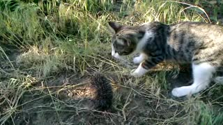 Curious Kitten Meets A Baby Hedgehog - Video