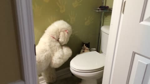 Poodle desperately wants to play with cat friend