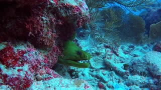 Divers feed moray eel scraps of lion fish for important reason - Video