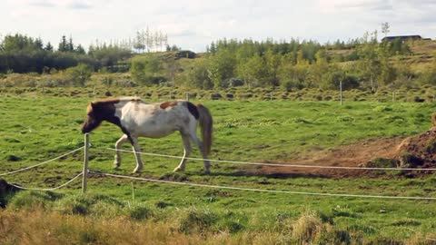 Horse rolling on the grass