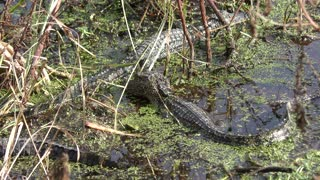Young American alligators in the swamp