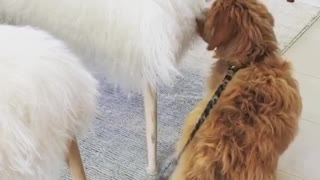 Brown dog sniffs white fluffy chair  - Video