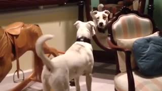 White dog stares at mirror - Video