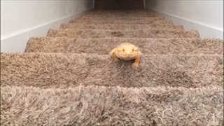 Bearded dragon climbs stairs for exercise - Video