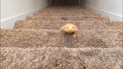 Bearded dragon climbs stairs for exercise