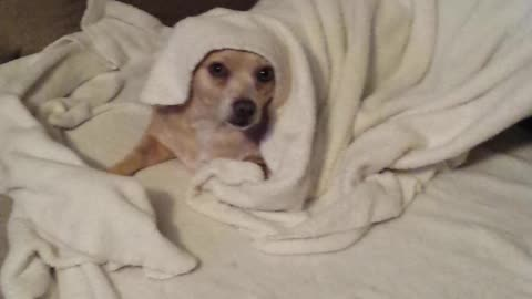 Chihuahua mix is over being cold