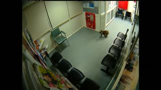 Koala makes surprise visit to Australian hospital - Video