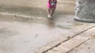 Small chihuahua in pink raincoat running towards owner from behind bush - Video