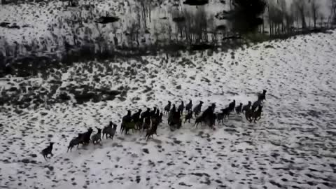 Aerial survey captures herd of elk in U.S.