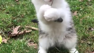 White cat plays with twig on lawn