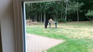 Bear cub is fascinated by patio furniture - Video