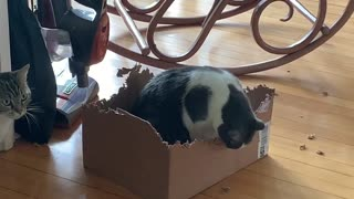 Cat Has Peculiar Appetite for Cardboard Boxes