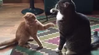 Orange and black cats swipe each other with their paws  - Video