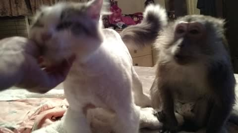 Cat and Monkey Love To Be Pet