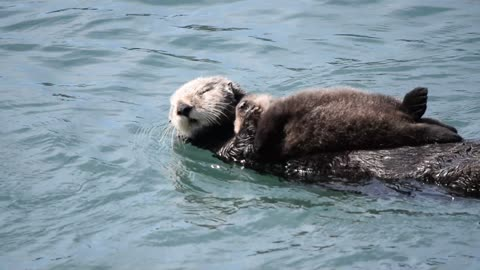 Mother Sea Otter Silences Squeeky Baby