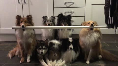 Talented, disciplined dogs hold bar for photo session