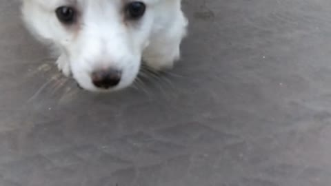 Small white dog runs on front doorstep to the camera