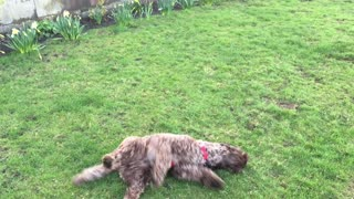 Labradoodle enjoying a roll on grass - Video