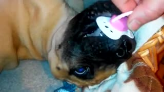 Little Great Dane and his pacifier  - Video