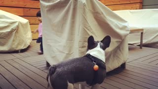French Bull Dog and Little Girl Play Chase - Video