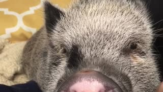 Mini pig gets irritated with owner's antics