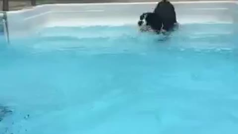 dog waits patiently to go in the pool!
