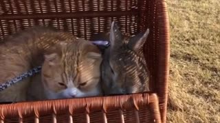 My cat loves sitting next to Rabbits - Video