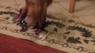 Tiny dog stumbles in dog shoes across floor  - Video