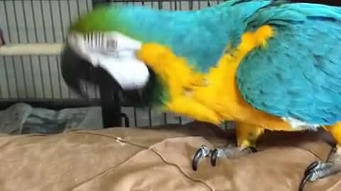 Charley the parrot screaming , tells herself to shut up.