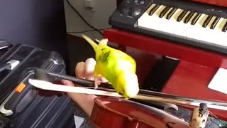 Bouncy Budgie Enjoying Ride on Violin Bow