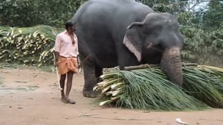 Elephant raises his very Weight grass  - Video