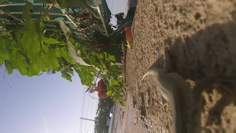 Wild lizards check out GoPro Camera!