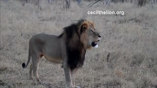 U.S. hunter who killed Cecil the lion returns to work