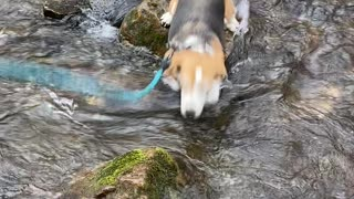 Dog fails to jump water