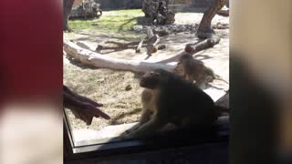 Baboon Is Amazed By Magic Trick - Video