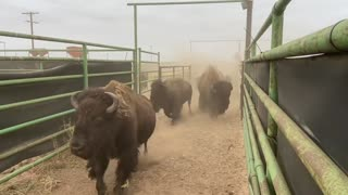 A Texas Bison Ranch