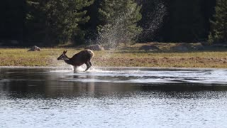 Elk Takes a Playful Dip in the Lake