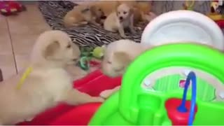 Adorables cachorros de Golden Retriever juegan en el tobogán - Video
