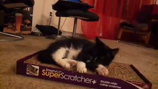 Adorable Cat loves superscratcher - Video