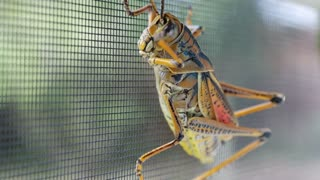 Beautiful up-close footage of friendly grasshopper - Video