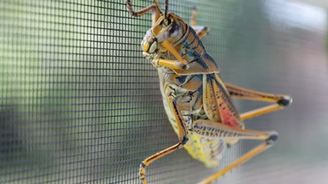 Beautiful up-close footage of friendly grasshopper